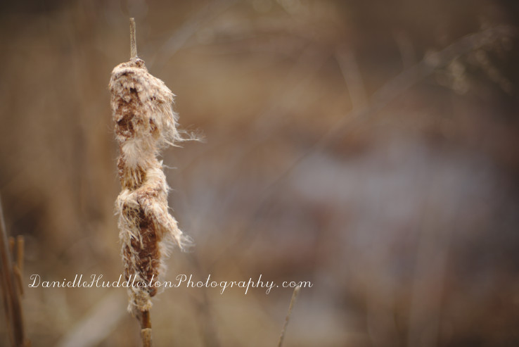 cattails4